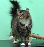 Gato con los ojos enfermos Fotografía de archivo