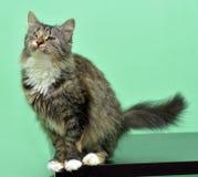 Gato con los ojos enfermos Imágenes de archivo libres de regalías