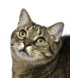 Gato con los ojos grandes que miran para arriba. Fotografía de archivo