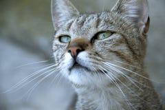Gato con los ojos hermosos Fotografía de archivo