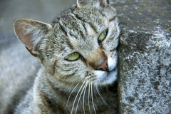 Gato con los ojos hermosos Imagenes de archivo