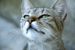Gato con los ojos hermosos Fotografía de archivo libre de regalías