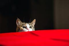Gato con los ojos salvajes listos para atacar en emboscada Imagenes de archivo