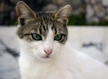 Gato con los ojos verdes Fotografía de archivo libre de regalías