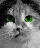 Gato con los ojos verdes Imagen de archivo libre de regalías
