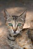 Gato con los ojos verdes grandes Fotografía de archivo