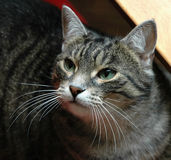 Gato con los ojos verdes y el bigote largo Imágenes de archivo libres de regalías