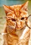 Gato con los vidrios Imagen de archivo