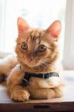 Gato con un arnés Fotos de archivo libres de regalías