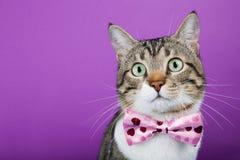 Gato con una cinta Fotografía de archivo