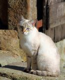 Gato consideravelmente doméstico com os olhos azuis que sentam-se por uma parede de pedra Foto de Stock
