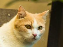 Gato consideravelmente vermelho Imagem de Stock Royalty Free