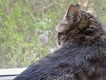 Gato contra Pombo Fotografia de Stock