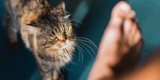 Gato contra ser humano Imagenes de archivo