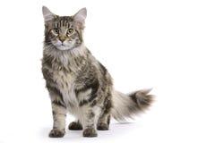 Gato, Coon de Maine Fotografia de Stock