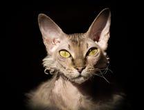 Gato corajoso com os olhos amarelos no backgound preto fotografia de stock