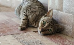 Gato corajoso que levanta passionately para a c?mera foto de stock royalty free