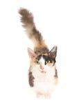 Gato corto raro de la pierna de Skookum en el fondo blanco Fotos de archivo