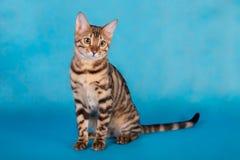 Gato criado en línea pura de Bengala Fotos de archivo