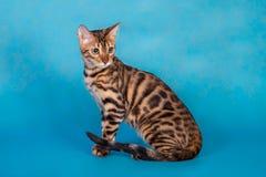 Gato criado en línea pura de Bengala Imagenes de archivo