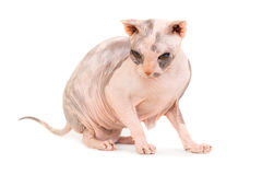 Gato criado en línea pura de la esfinge que se sienta Fotografía de archivo libre de regalías