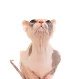 Gato criado en línea pura de la esfinge que se sienta Foto de archivo