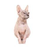 Gato criado en línea pura de la esfinge que se sienta Imagen de archivo libre de regalías