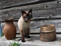 Gato criado en línea pura en el pueblo Imagen de archivo