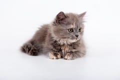 Gato criado en línea pura escocés Fotos de archivo