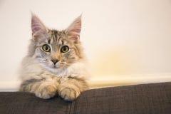 Gato criado en línea pura lindo en el sofá imágenes de archivo libres de regalías