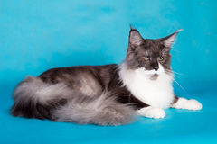 Gato criado en línea pura Maine Coon Fotos de archivo