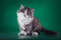 Gato criado en línea pura escocés Imagen de archivo