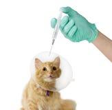 Gato, cuello isabelino que lleva y mano del veterinario con el médico Fotografía de archivo
