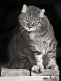 Gato curioso bonito em preto e branco Fotos de Stock