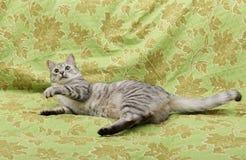 Gato curioso divertido en un sofá, jugando el gato, gatito de los ojos verdes, foto chistosa del gato joven Foto de archivo