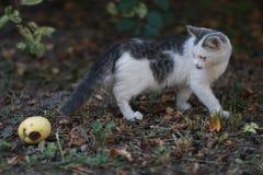Gato curioso engraçado com maçã 2 imagens de stock