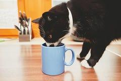 Gato curioso que bebe da caneca Fotos de Stock Royalty Free