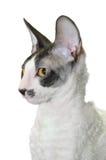 Gato Curly Imagens de Stock Royalty Free