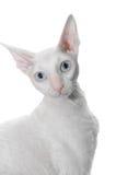 Gato curly branco Fotos de Stock Royalty Free