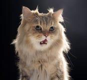 Gato da chinchila Foto de Stock Royalty Free
