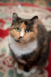Gato da concha de tartaruga Imagens de Stock Royalty Free