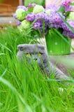 Gato da dobra do Scottish que encontra-se na grama Fotos de Stock