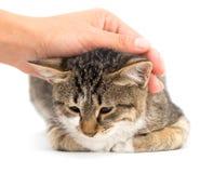 Gato da doninhas em um fundo branco Fotos de Stock