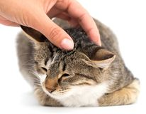 Gato da doninhas em um fundo branco Foto de Stock