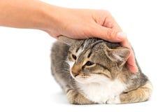 Gato da doninhas em um fundo branco Foto de Stock Royalty Free