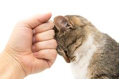 Gato da doninhas em um fundo branco Imagem de Stock Royalty Free