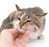 Gato da doninhas em um fundo branco Imagem de Stock