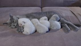 Gato da mãe de Ingleses Shorthair que alimenta seus gatinhos video estoque