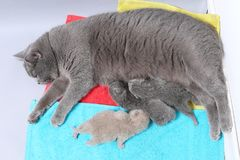 Gato da mãe que amamenta seus bebês Fotos de Stock Royalty Free