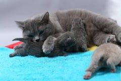 Gato da mãe que amamenta seus bebês Imagens de Stock
